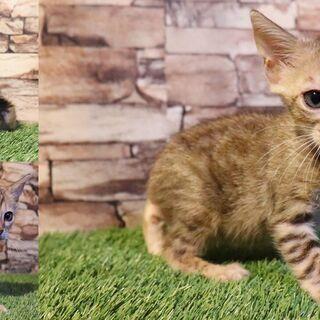 【訳アリ】ベンガル子猫を無料で譲渡します♪血統書付き