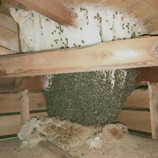 日本蜜蜂の保護行います。