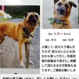 実家の愛犬トミー(10才雄去勢済)を探しています。似ている犬を目...