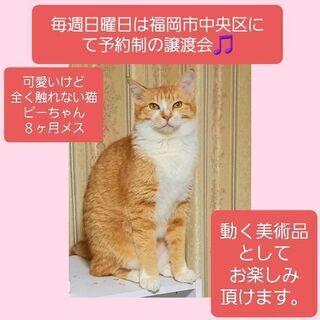 毎週日曜日は福岡市中央区にて予約制の譲渡会🎵触れない美猫ピ…