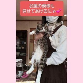 毎週日曜日は福岡市中央区にて譲渡会🎵キジ白くん - 猫