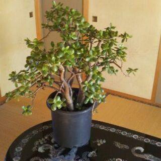 金のなる木(樹齢20年以上)
