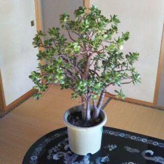 金のなる木(樹齢10年以上)