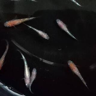 🌸錦鯉のような豪華さ、王華(極上血統)のほぼ若魚(2-2.5cm)5尾
