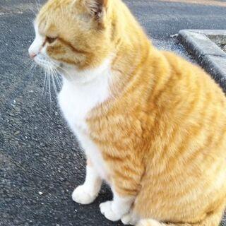 茶白猫さん 雄 2歳位 − 熊本県