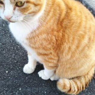 茶白猫さん 雄 2歳位 - 熊本市