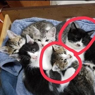 【里親希望様宅でトライアル中】キジ白子猫メス5ヶ月