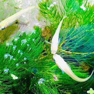 白メダカ&ミナミヌマエビ&水草4種☘️