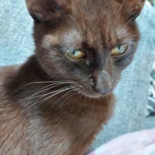 7〜8ヶ月くらいの茶色単色☆雄猫です
