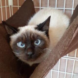 とても甘えん坊のシャム猫女子 7ヶ月