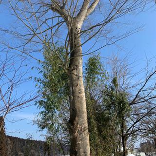 欅の木 原木