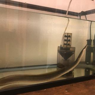 水槽 コトブキ600  鰻付き 値下げ