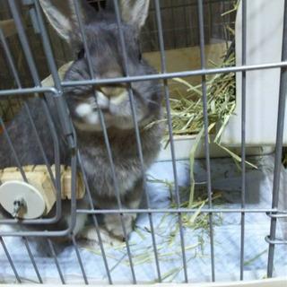 ミックス ウサギ/オス 【至急】4月中までにお願いします。