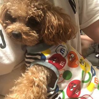 トイプードル 2歳 ♂ブリーダー引退犬