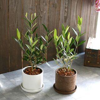 ◆オリーブ の不要な苗、鉢植えがありましたらぜひご連絡くだ…