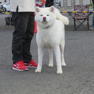 秋田犬の白毛の女の子です