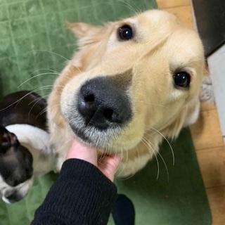 8ヶ月ゴールデンレトリバー♀ - 犬