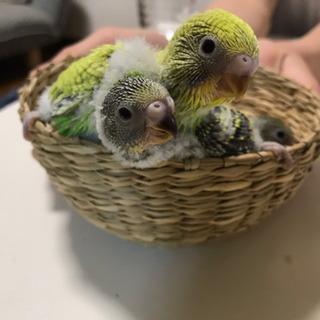 セキセイインコの雛2羽の里親さん募集です。