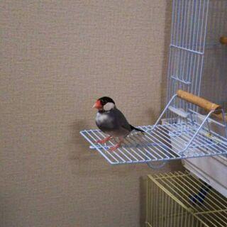 迷子の桜文鳥を探しています‼