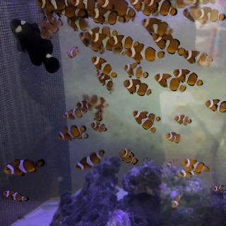 【ネット決済】海水魚【残りわずか】自家繁殖カクレクマノミ10匹セット