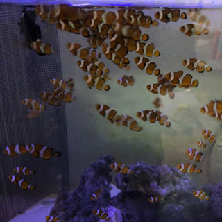 【ネット決済】海水魚 自家繁殖カクレクマノミ5匹セット