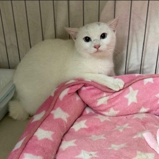 ブルーアイの白猫【2/21 譲渡会🌸】
