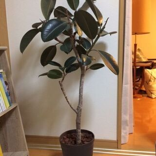 観葉植物 フィカス(ゴムの木) バーガンディ