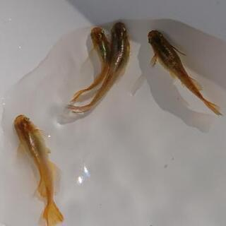 鳳凰(ホウオウ) 若魚 10匹