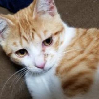 子猫(オス・茶トラ)里親さん募集をしています