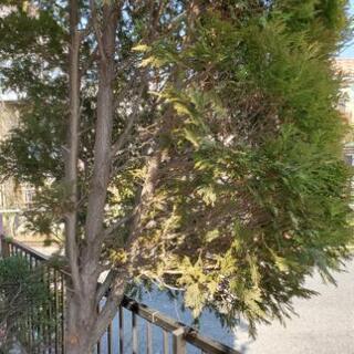 モミの木 枝