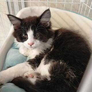 ハチワレ(黒白)2ヶ月オス仔猫です