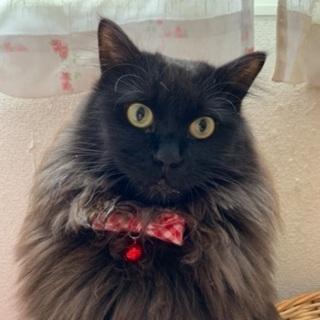 長毛の黒猫美人のリオンちゃん