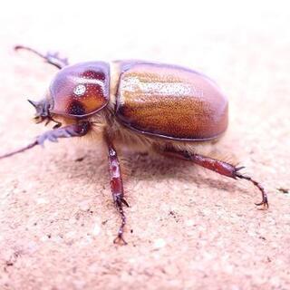 G・ミヌトゥス幼虫(カブトムシ・クワガタ)