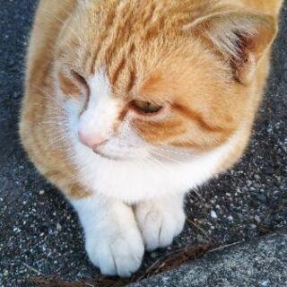 茶白猫さん 雄 2歳位 - 里親募集