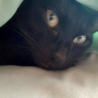 代理 黒猫 メス