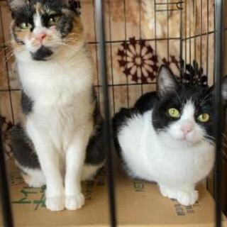 ミミちゃん、4ヶ月のハチワレ子猫、里親募集