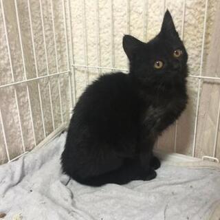 セーラちゃん、2.5ヶ月の黒猫、里親募集