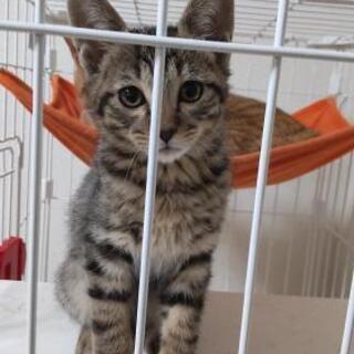 キジトラの子ネコ4匹里親募集