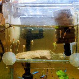 熱帯魚 ブルーアイゴールデンブッシープレコの稚魚 5匹以上で値下