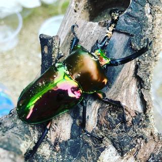 ニジイロクワガタ幼虫(ノーマル色)