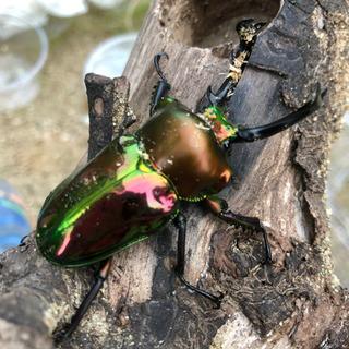 ニジイロクワガタ幼虫(菌糸瓶800cc、ノーマル色)