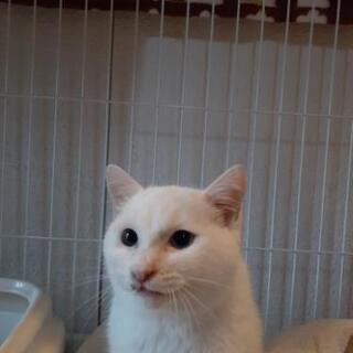 オッドアイの白猫男子 推定7カ月