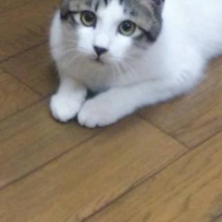 キジ白猫子猫ちゃん 5ヶ月半
