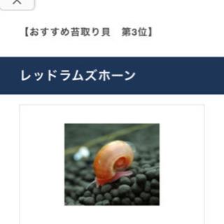 【ネット決済】レッドラムズホーン