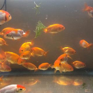 らんちゅう 金魚