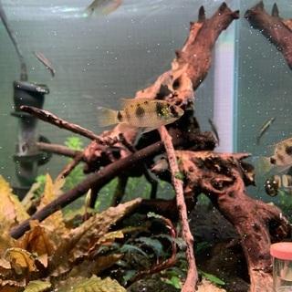 貝を食べる熱帯魚アノマロクロミス・トーマシー売ります。