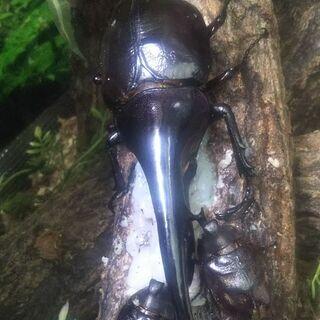 ヘラクレスオオカブトムシ  3令幼虫 3頭セット