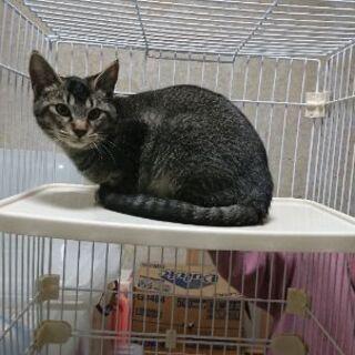 3月6日(土)三鷹で猫の譲渡会❤️ キジみたいな猫ですがしま模様...