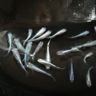 【ネット決済】【幹之メダカ】幼魚~若魚 未選別1匹150円6匹8...