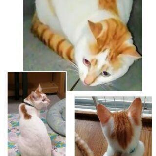 【迷い猫】白茶の猫を探しています。